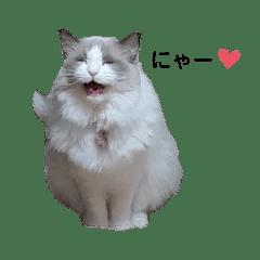 ラグドールのラグちゃん Ragdoll cat
