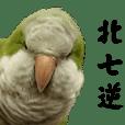 Cute Quaker parrot, Green Tea (Part 2)