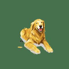 Golden Retriever – Sony