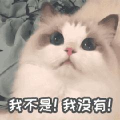 Kiwi布偶貓的日常