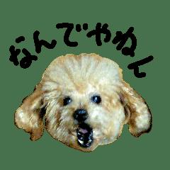 トイプーの師匠 シンプル編