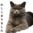British Shorthair[Daily conversation]