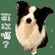 邊境牧羊犬-Mimi小姐