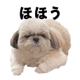 Fluffy Shih tzu ROY