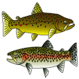 Brown and rainbow Trout