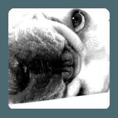 French Bulldog Monologue_Ginji