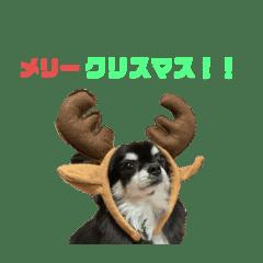 チワワ(くるみちゃん)スタンプ