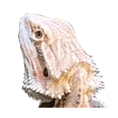 --Bearded dragon--