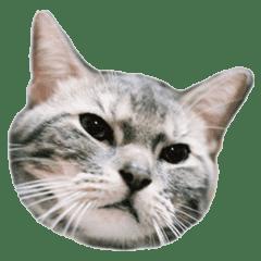 The cat speak francais