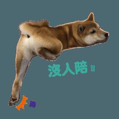 Shiba CHAI-3