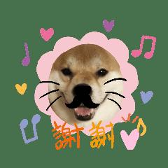 柴犬 カマハチ 3
