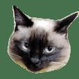 siamesemix cat Myu