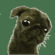Boku Pug