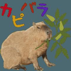 Daily life of the capybara