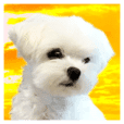 Maltese dog in a dawn.-part6-