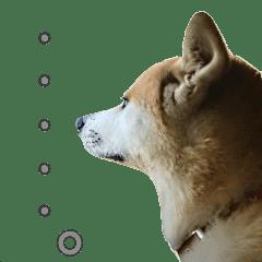 秋田犬の太郎