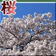 Cherry Blossoms is Sakura