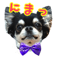 Black Chihuahua 2