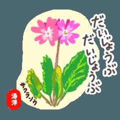 YUZAWA Hanakeigo no.5693