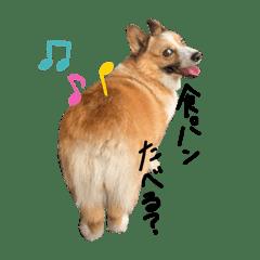 コーギー犬のれもんちゃん