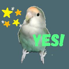 pipi the love bird