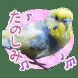 kawaii budgerigar Part2