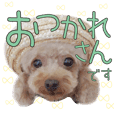 Cute Dog12.Toy Poodle Feeling 1