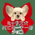 ミックス犬 パピヨーキーの「チョコ」
