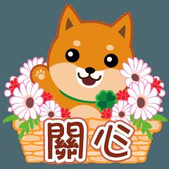 Shiba dog MUSASHI 21 Care(tw)