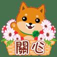 """Shiba dog """"MUSASHI"""" 21 Care(tw)"""