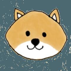 たぬき顔の柴犬