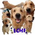 Ichi the Golden Retriever