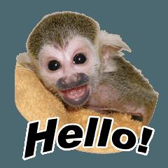 Squirrel monkey baby 3