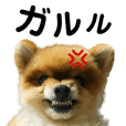 Pomeranian Coro-chan