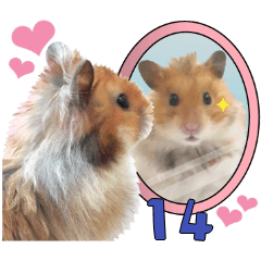 Golden Hamster MoMoJai 14