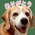 ビーグル犬のカブ
