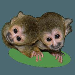 Squirrel Monkey Baby 4