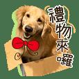 黃金獵犬吳尼醬與吳阿洛(melo)