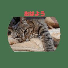 キジトラ猫 日常会話