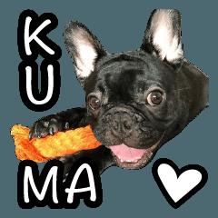 kuma is a French bulldog