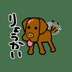 ラブラドール犬_つやぴかチョコ丸