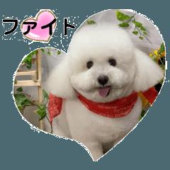 Bichon Bolognese Dog Leon-tan