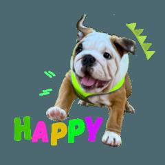 Gussy the Bulldog