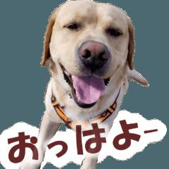 Labrador Retriever Momo ver.1