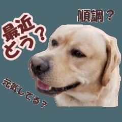 Labrador Retriever Momo ver.6