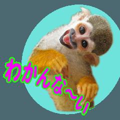 Squirrel Monkey Baby 6