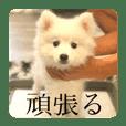 スピッツ犬のスーちゃん