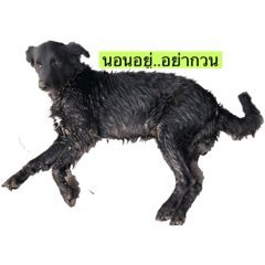 Black Dog SanRoo