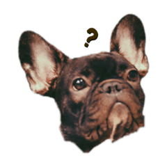 SS French bulldog