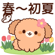 Gentle toy poodle (spring-early summer)